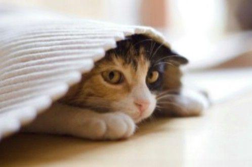 кішки і стрес, як позбавити кішку від стресу, в чому проявляється стрес у кішки, що викликає стрес у кішки