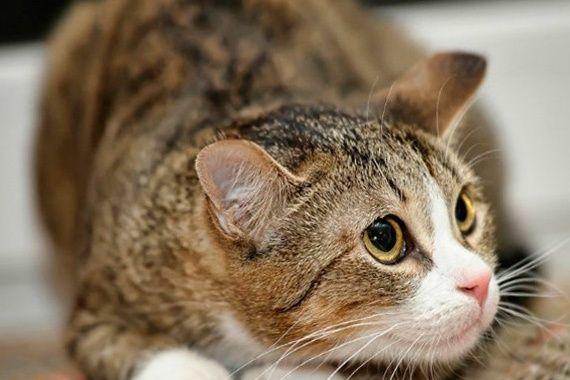 відчуває кішка стрес