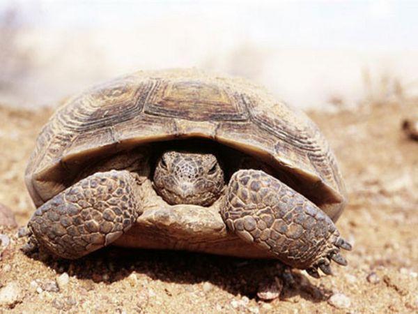 Черепахи в пустелі живуть дуже привільно