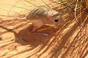Тушканчик в пустелі - один з найвідоміших звірків
