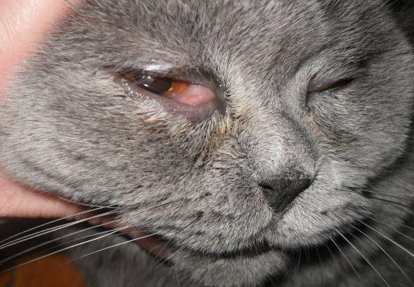 Opuch očí u mačky