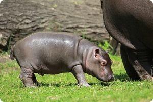 Novorodenec hroch
