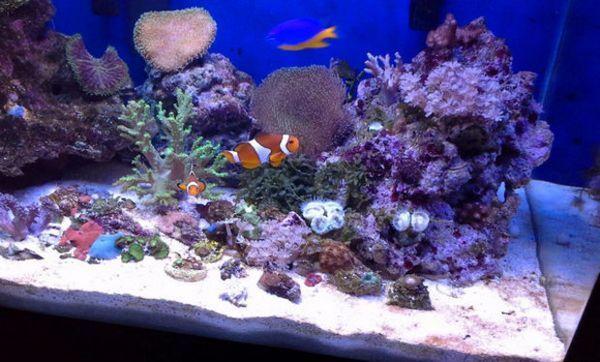 Риба-клоун в акваріумі