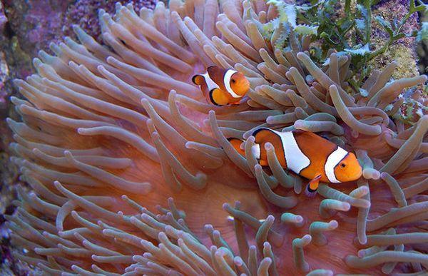 Риби-клоуни і актинії