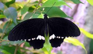 Aký je najväčší motýľ na svete?