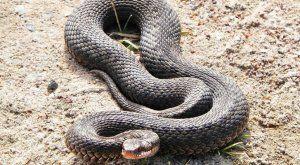 Какви отровни змии живеят в русия?