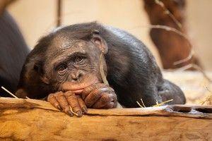 Čo sú opice antropoidné