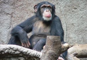 Мавпа шимпанзе