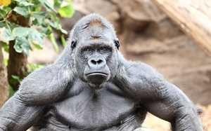 Мавпа горила