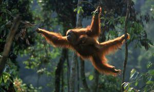 Мавпа орангутанг