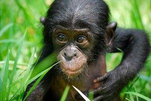 Мавпа бонобо