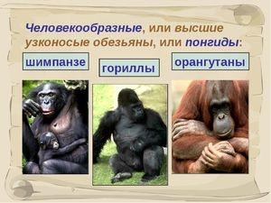 Види людиноподібних мавп