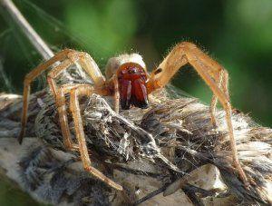 Кои са най-отровните и опасни паяци на планетата?