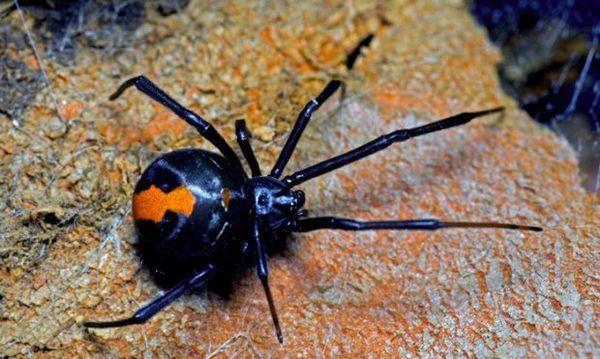 Червен заден паяк