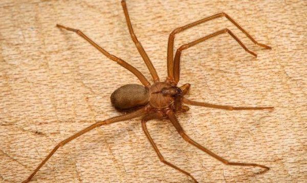 Кафяв паяк отшелник