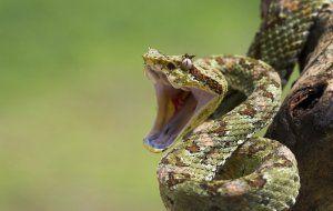 Кои са най-отровните змии на планетата?