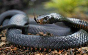 Кои са най-отровните змии в австралия?