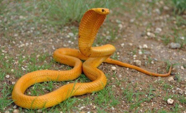 Cape kobra