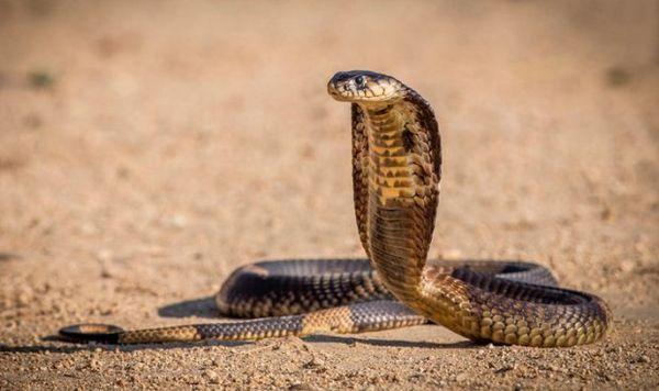 Egyptská kobra