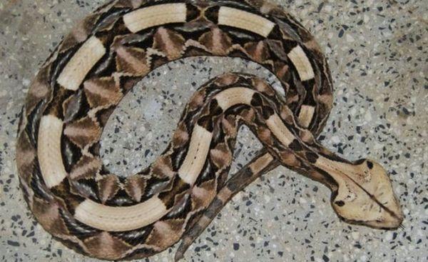 Viper z Gabonu