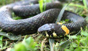 Кои змии се считат за нетоксични? Как да различим отровна змия от нетоксична змия