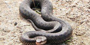 Какви змии се срещат в русия: неотровни и най-опасни