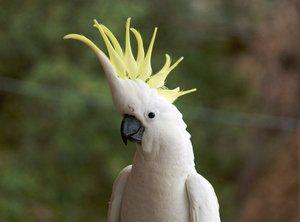 Какво е семейство какаду: описание на подсемейството, родовете и видовете папагали