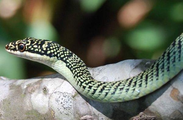 Spoločný zdobený had