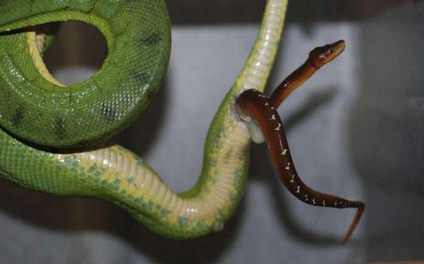 Viviparita v hadovi