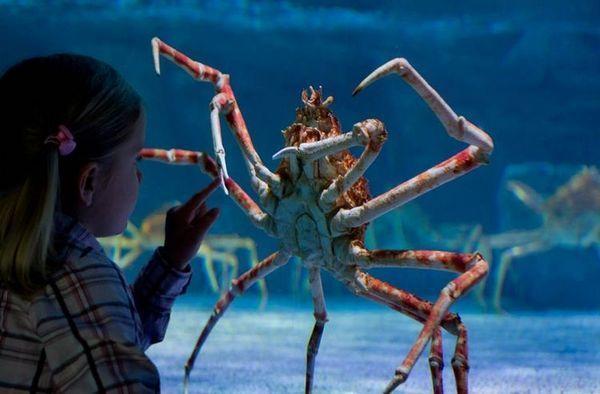 Krab pavúk