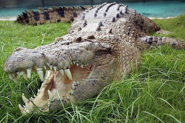 Slaný (ryhovaný) krokodíl