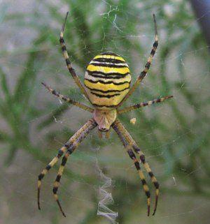 Aký pavúk ako vosa