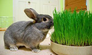 Яку траву можна і не можна давати кроликам в свіжому вигляді