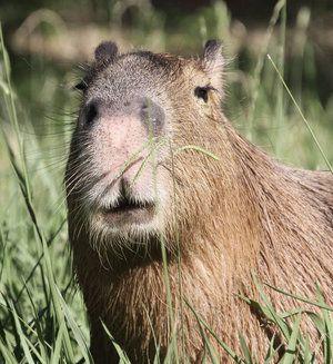 Капибара: най-големият гризач като домашен любимец