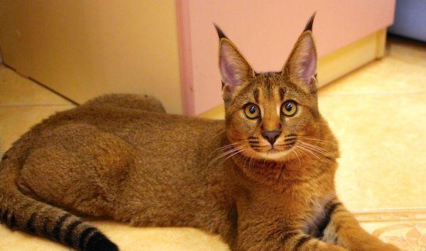 каракатен котка