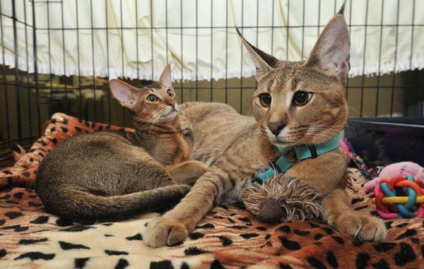 За породата каракатни котки