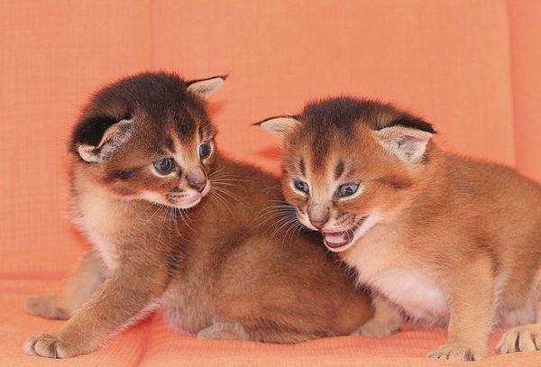 Каракатни котенца