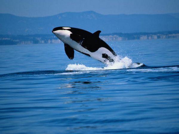 Kosatka je delfín alebo veľryba