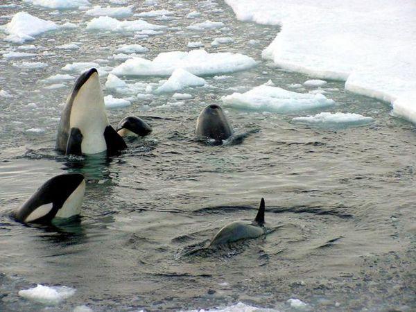 Kŕdeľ mladých kosatiek