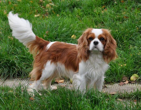Англійська собака