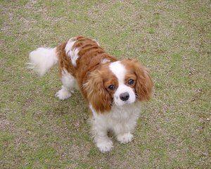 Зовнішній вигляд собак породи кінг спанієль