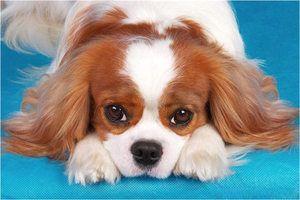 Догляд за собаками кінг спанієль