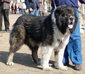 Зовнішній вигляд Кавказької вівчарки