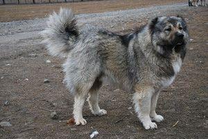 Вигулювання кавказця Кавказької вівчарки