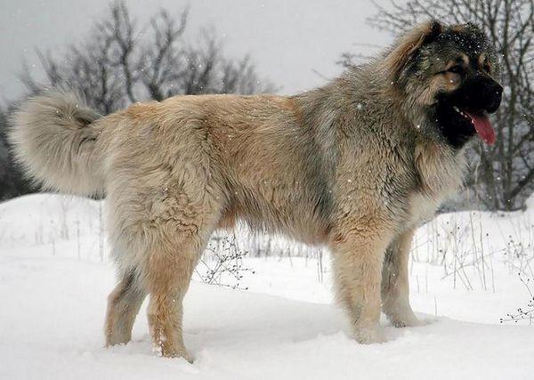 Кавказька вівчарка зміст