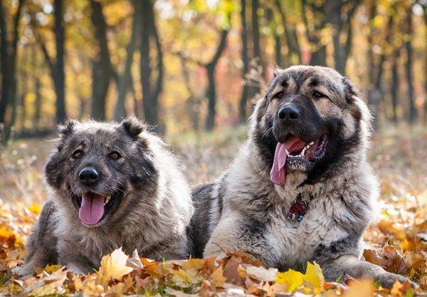дві Кавказькі вівчарки