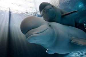 Veľryba Beluga s potomkami