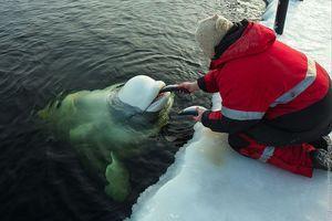 Kŕmenie veľrýb beluga