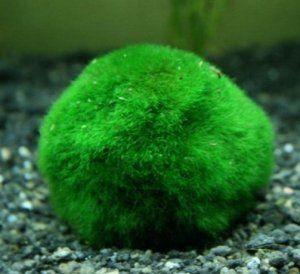 Кладофора сферична: какви грижи са необходими, как да се размножават