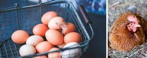Коли кури молодички починають давати яйця, тобто нестися